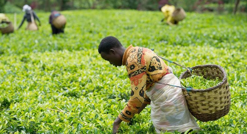 Tea Farming in Kenya