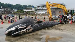 Morze wyrzuciło płetwala błękitnego na japońskie wybrzeże