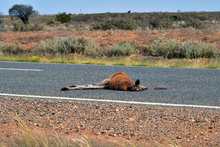 Ubijen kengur, pokrivalica