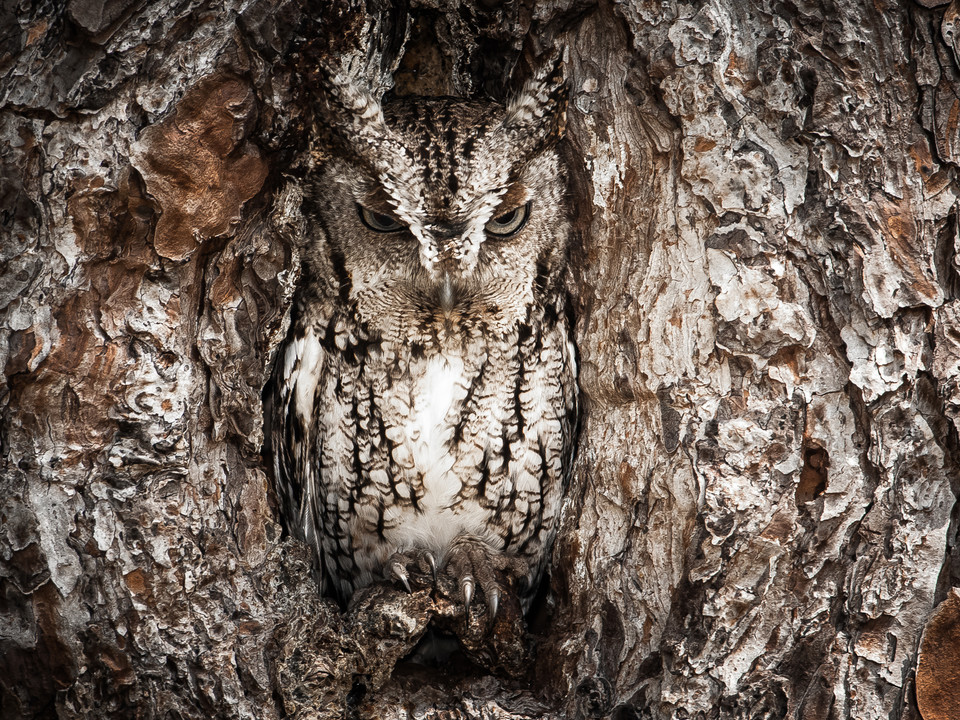 Portrait of an Eastern Screech Owl (pol. Portret syczonia krzykliwego) - Graham McGeorge/National Geographic Traveler Photo Contest