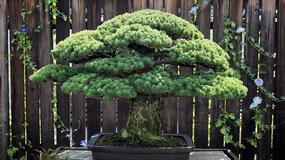 Niesamowite bonsai - ma prawie 400 lat i przetrwało Hiroszimę