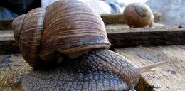 Zbieracze nie zarobią na ślimakach. Winniczki pod ochroną