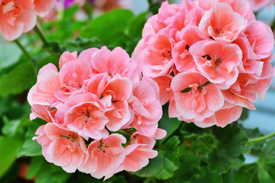 Sześć Balkonowych Roślin Nie Do Zdarcia Bujnie Kwitną I