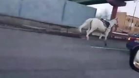 Koń galopował jedną z ulic Warszawy. Wyprzedzał pędzące samochody