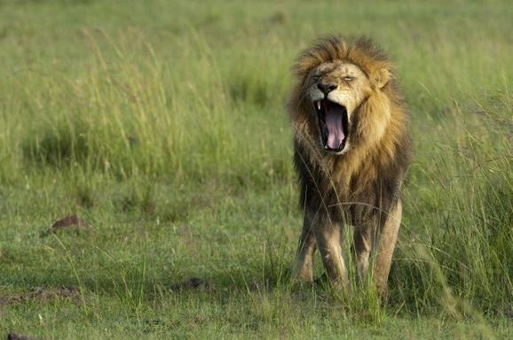 Kralj životinja je oličenje moći, dostojanstvenosti, fizičke snage i lepote