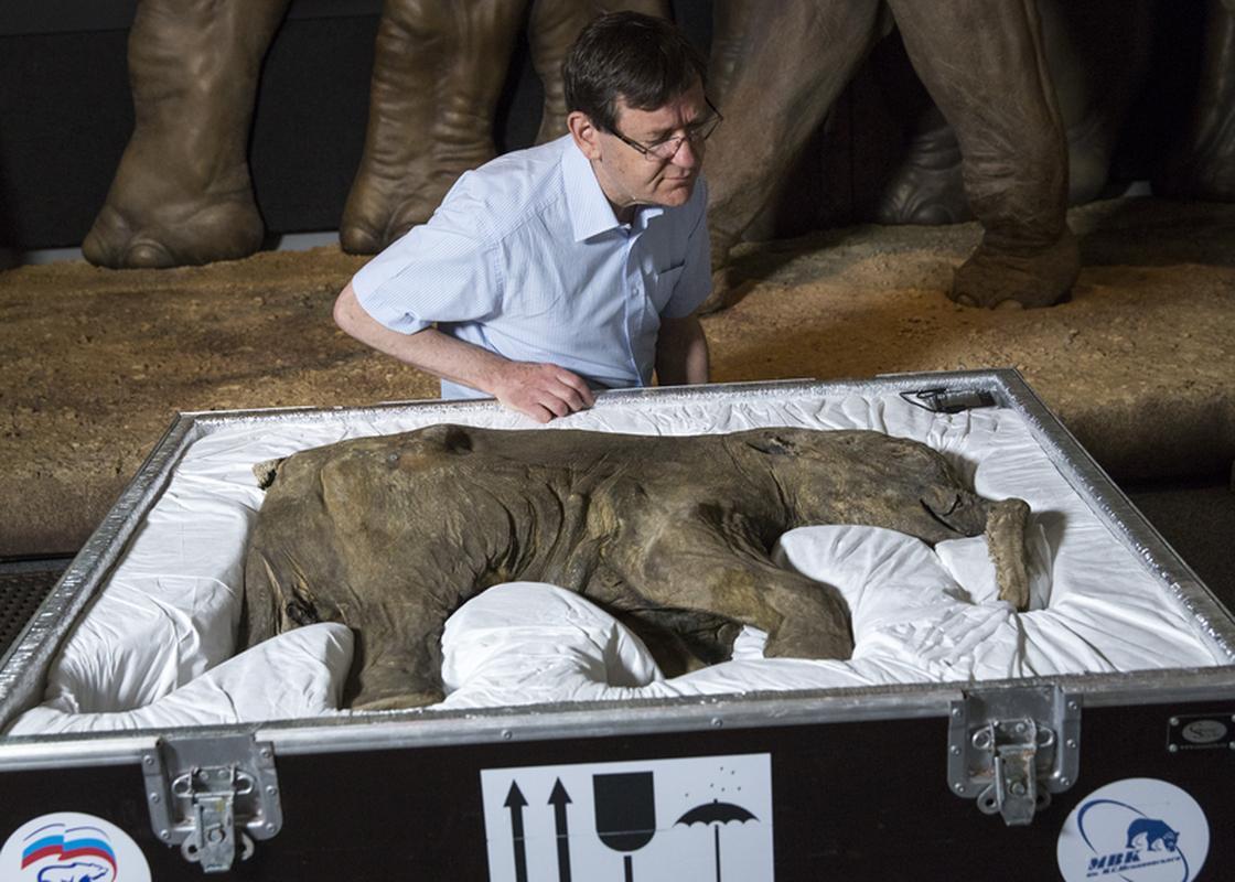 Najlepiej zachowany mamut jest w zbiorach londyńskiego Natural History Museum. To mały osobnik, który został odkryty na Syberii w maju 2007 roku 42 000 lat po śmierci. Zdjęcie z 2014 roku