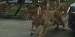 Lwy zaatakowały ludzi w zoo. Szokujące nagranie