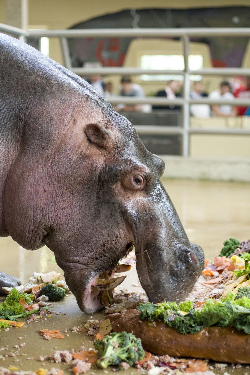 Hipopotam Hipolit jest najstarszy w Europie