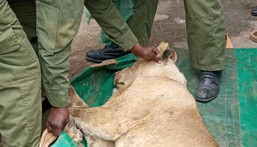 The sub-adult male was spotted by residents of Ongata Rongai, Kajiado county. (COURTESY:KWS)