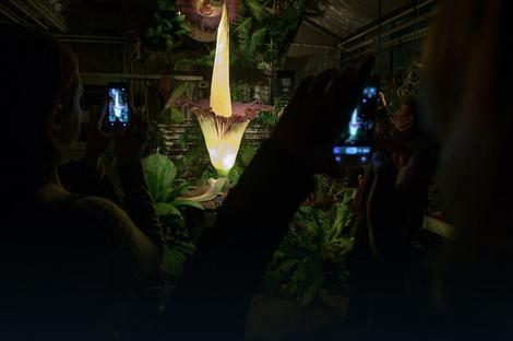 Džinovski cvet je noću specijalno osvetljen