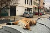 Mrtva lisica kontejner Leskovac Privatna arhiva Jugmedia