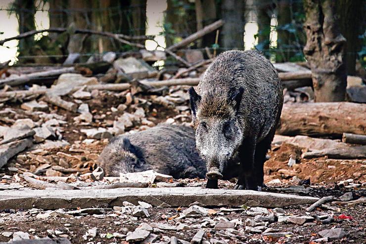 Divlje svinje foto  epa JULIEN WARNAND(2)