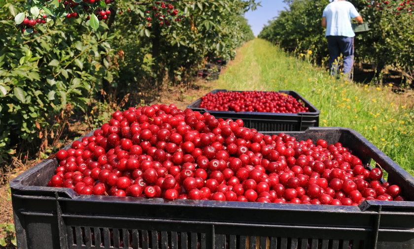 Polskich czereśni w tym roku jest rekordowo dużo, ale mimo niskich cen i tak nie wytrzymują one konkurencji cenowej z zagranicznymi owocami.