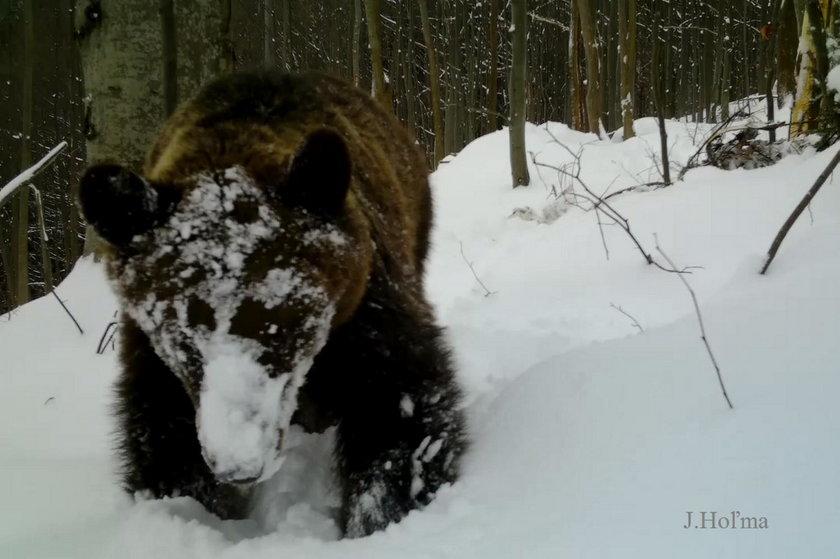 Uwaga na szlakach! Niedźwiedzie budzą się