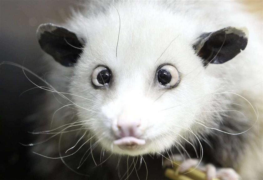 Zezowaty opos sensacją w zoo!