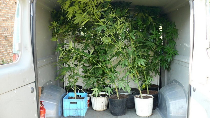 Plantacja marihuany