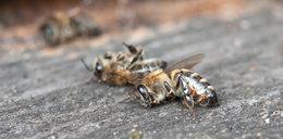 Zginęło milion pszczół pod Wągrowcem. Kto za to odpowie?