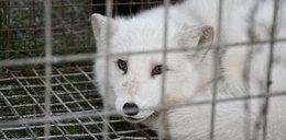 Dramat na fermie lisów. Truchła jedzone przez żywe zwierzęta