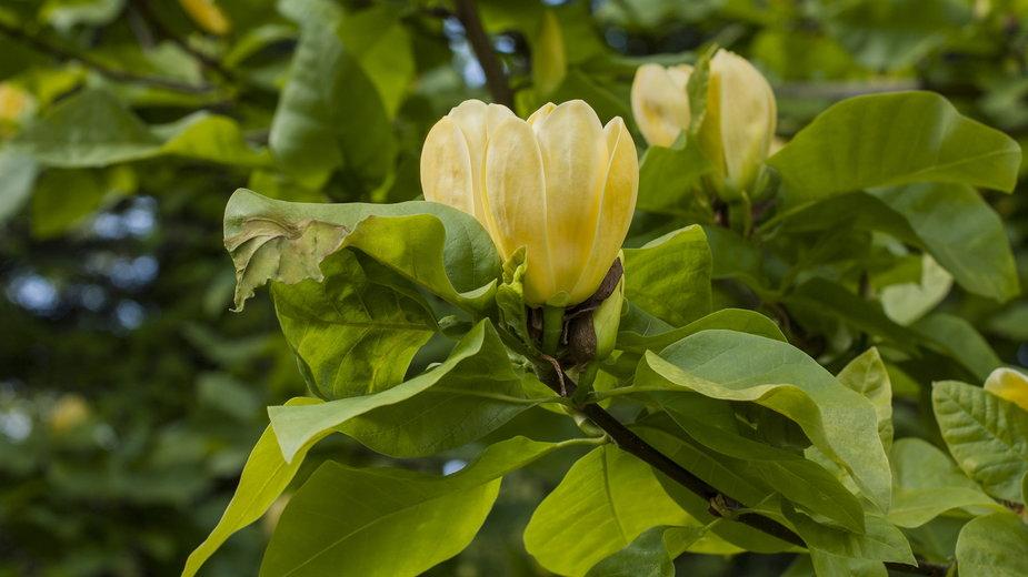 Magnolia Yellow Bird wytwarza piękne kwiaty w żółtym kolorze - Helena Olena/stock.adobe.com