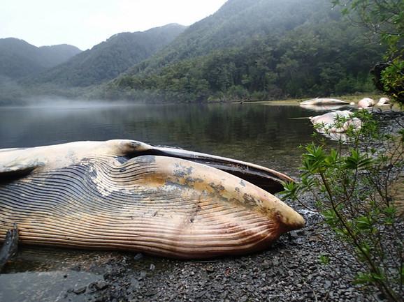 Lešina jednog od nasukanih kitova