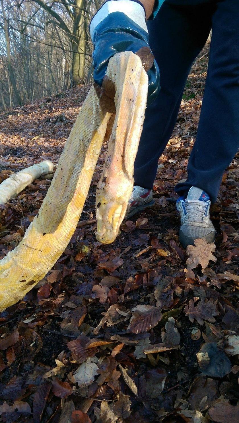 Częstochowa. Martwy pyton tygrysi znaleziony w lesie