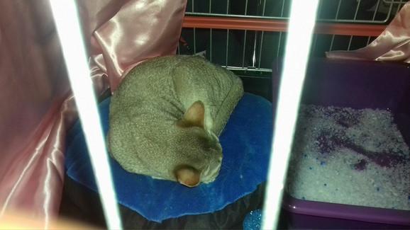 Najmanja mačka rase singapura nije bila raspoložena za fotografisanje
