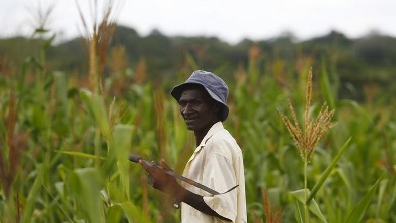 A walks through his field of maize in Chikonga village, close to the town of Chikuni in the south of Zambia February 21, 2015. REUTERS/Darrin Zammit Lupi