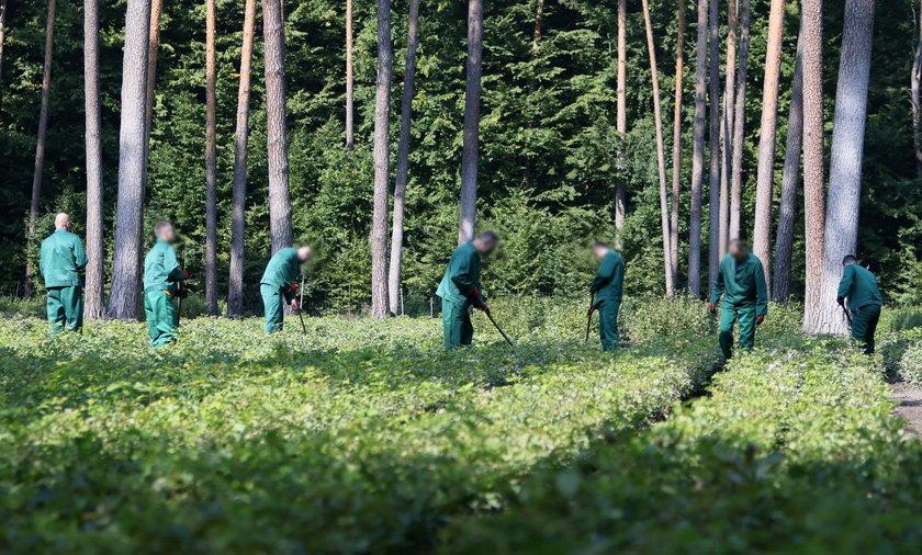 Więźniowie będą pracować w Lasach Państwowych.