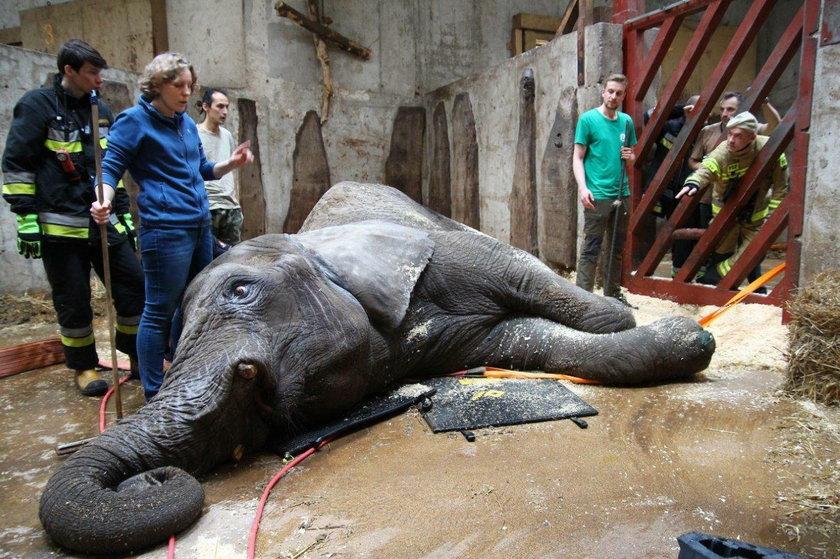 Warszawa: straż pożarna w zoo. Musieli ratować słonia