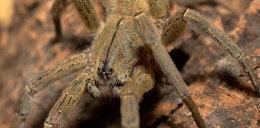 Oto najgroźniejszy pająk świata