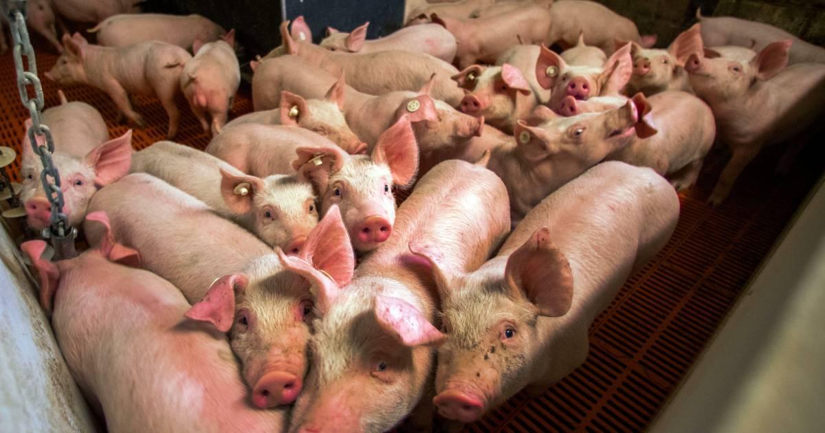 Experten fordern bessere Bedingungen für Schweine – in zwanzig Jahren