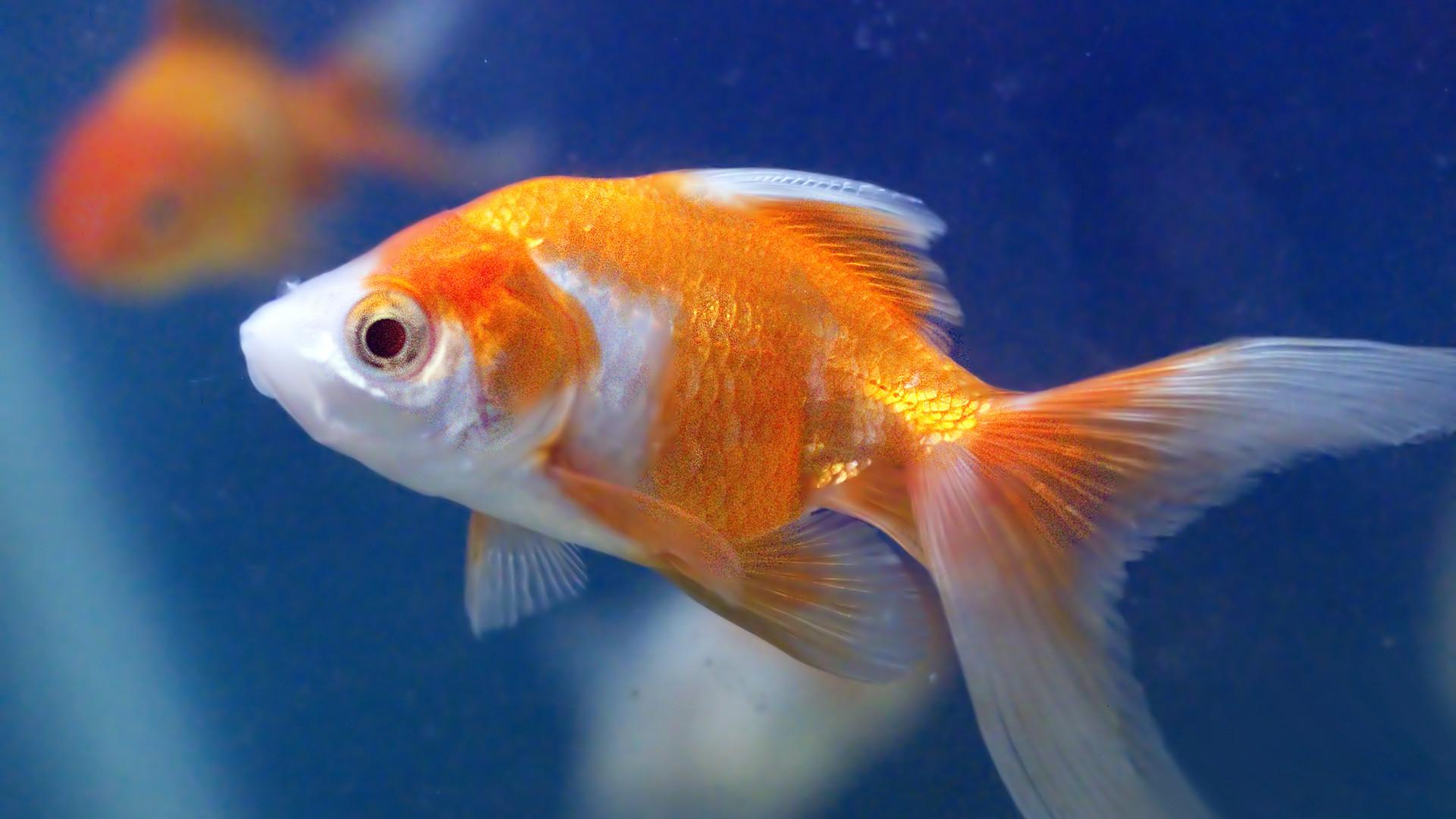 goldfisch sex