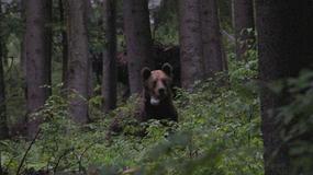 Jeden z tatrzańskich niedźwiedzi zawędrował aż na Węgry