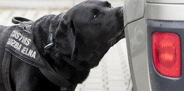 Pies Koks. Ekspert od narkotyków
