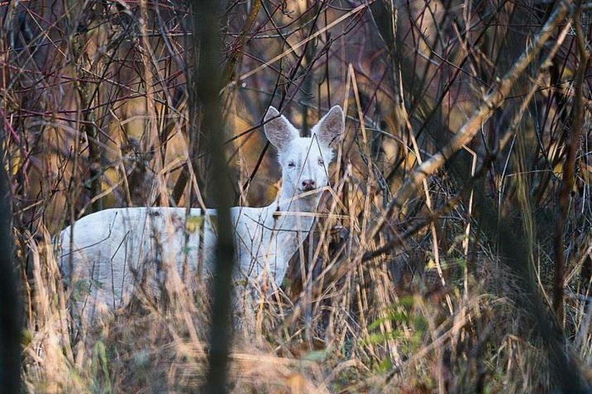 Niezwykły okaz w mazurskich lasach. Taki widok nie zdarza się często