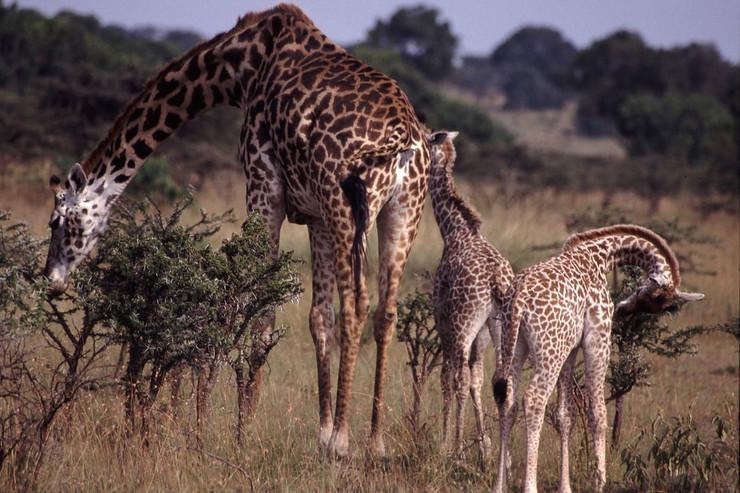 žirafe public domain