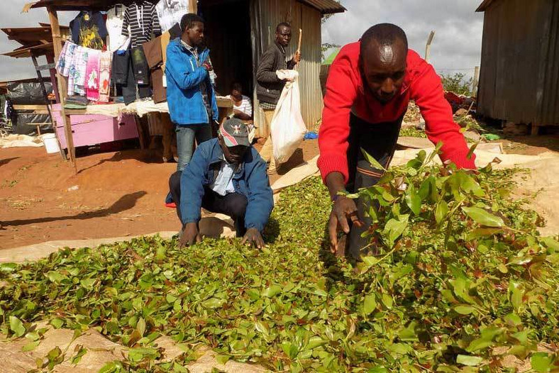 Farmers airing their muguka leaves ready for sale. (Standard)