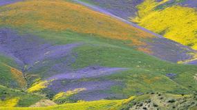 Bajeczne kolory kwitnących łąk w Kalifornii