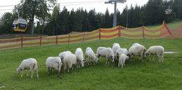 Moje owce koszą stok dla narciarzy
