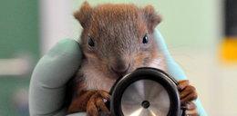 Operacja wiewiórka - weterynarze uratowali postrzelone zwierzątko