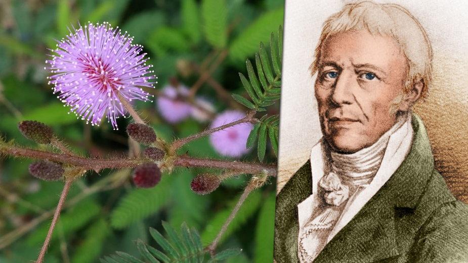 """Autor pojęcia """"biologia"""" woził powozem kwiaty mimozy po Paryżu, by udowodnić ich inteligencję"""