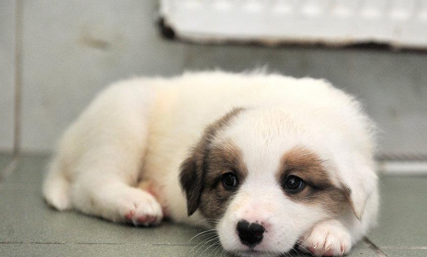 szczeniaki do adopcji