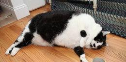 Oto najgrubszy kot w Ameryce. Umrze, jeśli nie schudnie!
