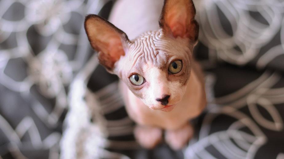 Kot sfinks to jeden z najpopularniejszych kotów bez sierści - OlgaChan/stock.adobe.com