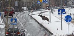Policja? Jakiś jeleń demoluje auto!