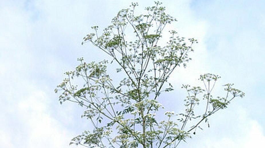 Szczwół plamisty - pokrój rośliny kwitnącej
