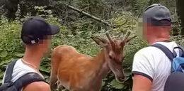 Turyści drażnili jelenia w drodze na Morskie Oko. Internauci nie wytrzymali