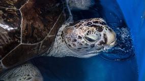 Tajlandia: nie żyje żółwica, która połknęła prawie tysiąc monet