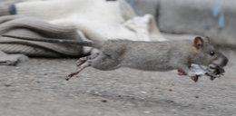 Szczury na Ursynowie terroryzują mieszkańców