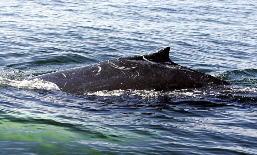 Wieloryb nad Bałtykiem